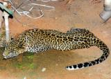 Leopard goes to school in Mysore, shifted to zoo
