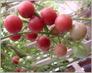 Delightful experience of growing Cherry Tomatoes in the backyard
