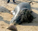 Dolphin washed away at famous Maravante Beach