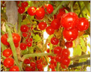 My Cherry Tomatoes Garden in Bahrain