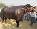 Owner of this 1,400kg bull turns down Rs 7 crore offer