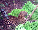 Leopard entangled in net gets new lease of life