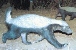 Elusive honey badger sighted in Karnataka forest
