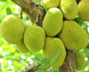 Bantwal: Jackfruit Shandy to be held at Panemangaluru on Apr 26
