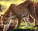 Bantwal: Menacing leopard trapped by foresters at Chennaittody village