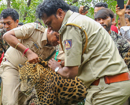 Foresters rescue Leopard trapped in open well at Kutyar, near Shirva