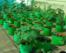 Mangaluru: Household & terrace gardens yield fresh vegetables for good health