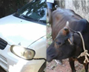 Moodbidri: Car illegally-transporting cow stuck besides road, accused flee